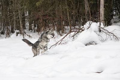 Tundra Wolf 0001
