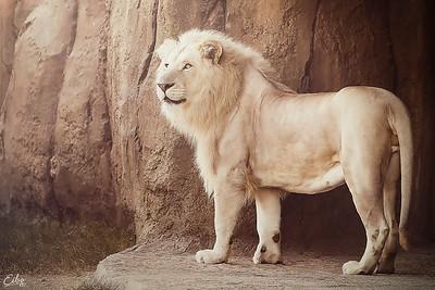 A White King