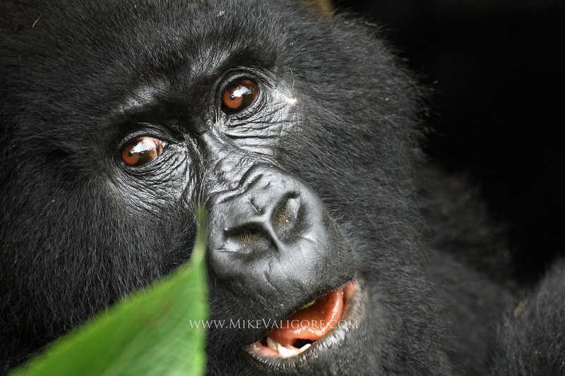 'Lubutu' smiling - mountain gorilla<br /> Virunga, Congo DRC