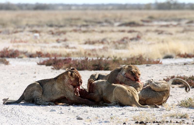 Lions feeding on a springbok<br /> Etosha