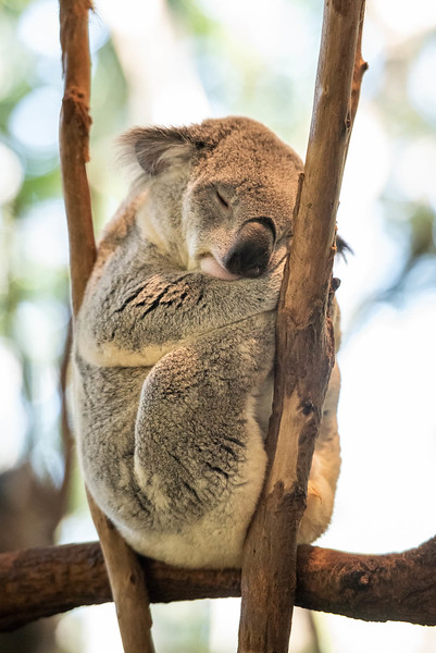 Peacefully sleeping koala