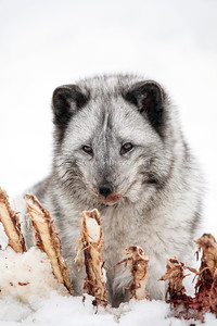 Arctic Fox - Blue 0149