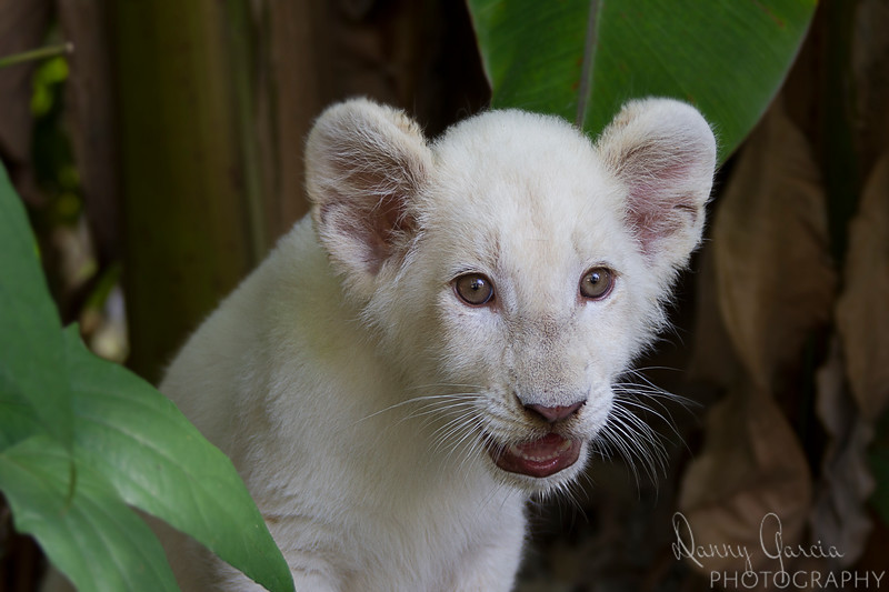 White African Lion Cub