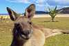 Kangaroo<br /> Pebbly Beach, NSW