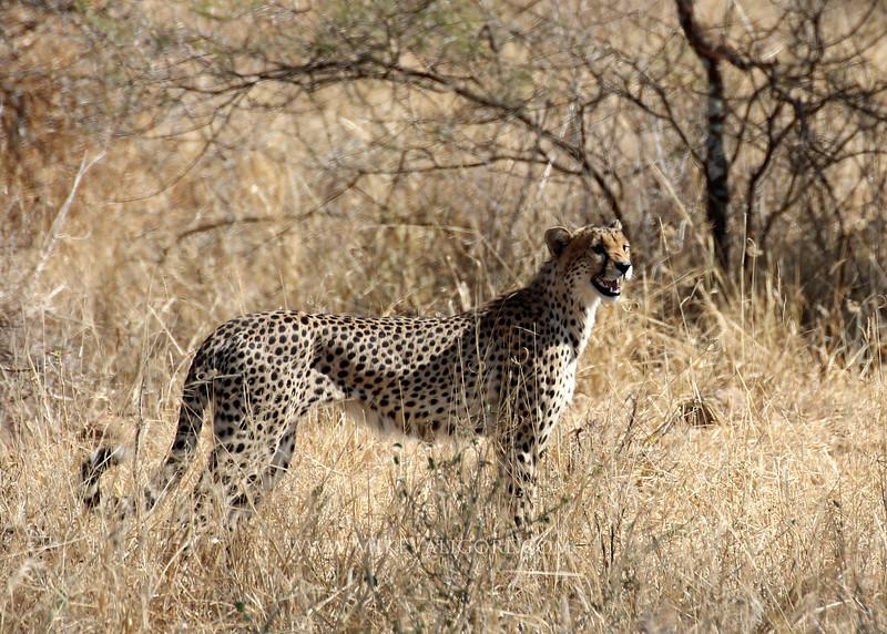 Cheetah<br /> Tarangire, Tanzania