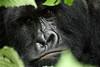 'Bukima'<br /> Rugendo Silverback Mountain Gorilla