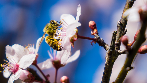 The Australian Honey Bee