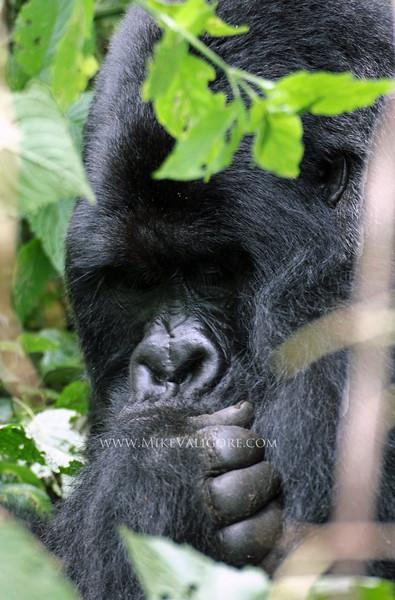 "'Bukima' - Rugendo silverback  Virunga, Congo DRC <p>Read more on the park's blog <a href=""http://gorillacd.org"">here</a></p>"