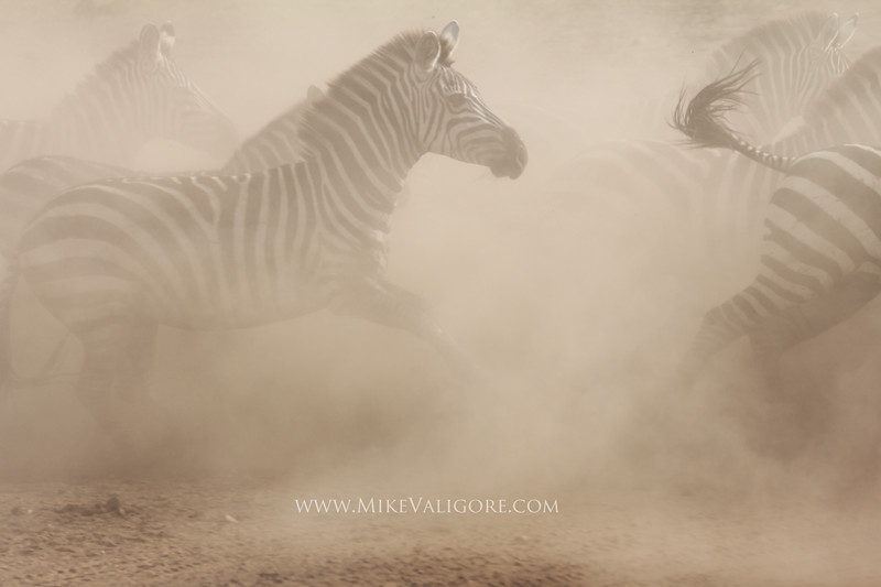 Galloping Zebras<br /> Serengeti, Tanzania