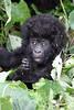 Baby Mountain Gorilla<br /> Virunga, Congo DRC