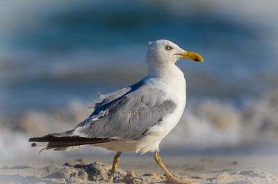 Seagull - Long Beach Island