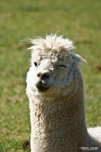 Llama (UK)