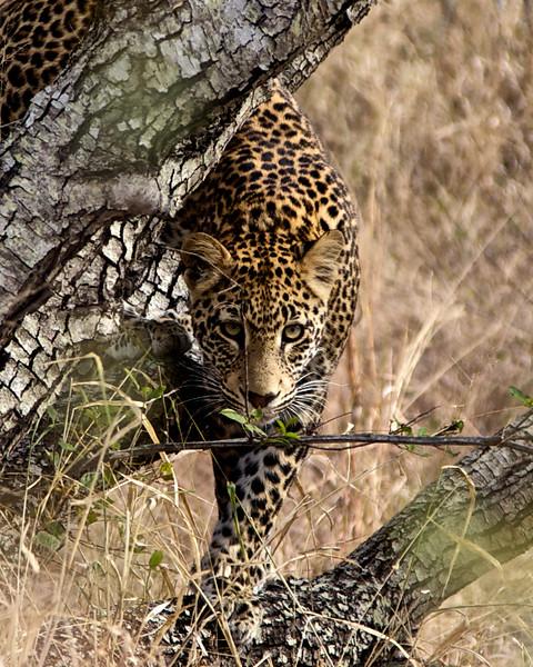 Wild Leopard II