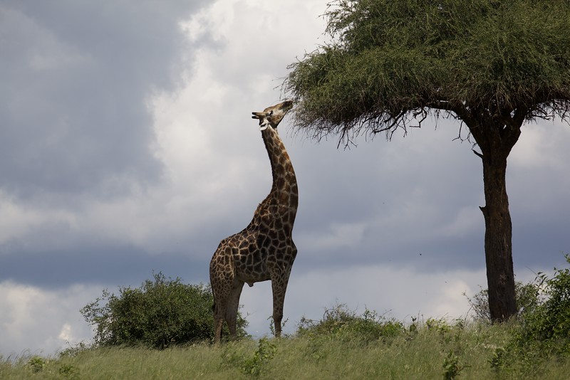 Iconic Giraffe