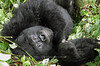 Virunga Mountain Gorilla