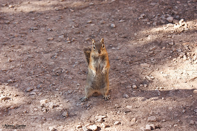 Squirrel  (Bryce Canyon NP, Utah)