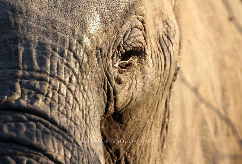 Elephant at sunrise<br /> Kruger, South Africa