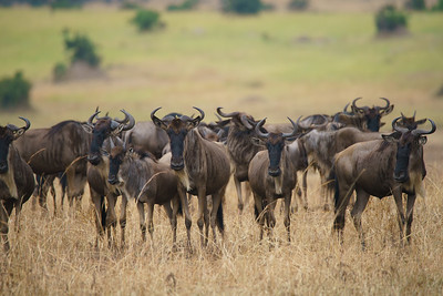 Wildebeests, Serengeti National Park, Tanzania