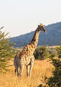 Giraffe 1591