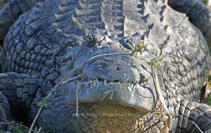 African Crocodile<br /> Liwonde, Malawi