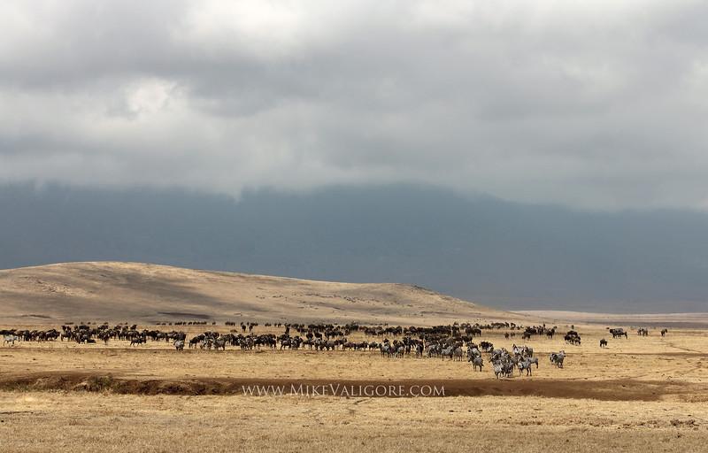 Wildebeest and zebra herds<br /> Ngorongoro Crater