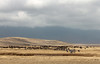 Wildebeest and zebra herds<br /> Ngorongoro Crater