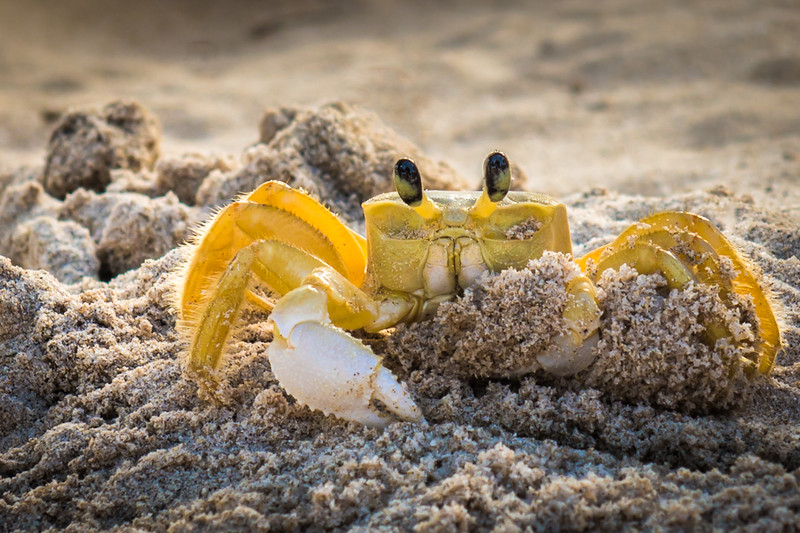 Sand Crab-  a great little bulldozer