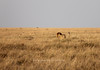 Male lion stalking antelope<br /> Serengeti, Tanzania