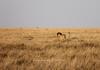 Male lion stalking antelope<br /> Serengeti, Tanzania