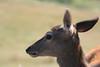 Red deer 6