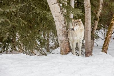 Tundra Wolf 0063