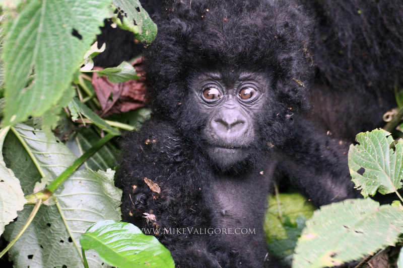 """Rugendo family baby mountain gorilla Virunga, Congo DRC <p>Read about the Rugendo family <a href=""""http://rugendofamily.gorillacd.org/"""">here</a></p>"""