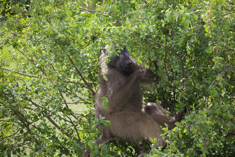 Tree'd Baboon