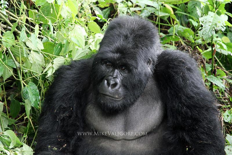 'Kongomani' - Rugendo family silverback<br /> Virunga, Congo DRC