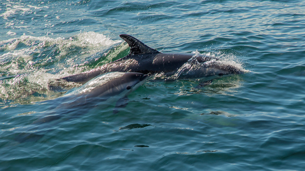 Dolphin mother and kid cruising P-Town (Cape Cod)