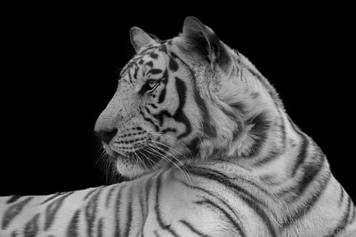 White Adult Tiger