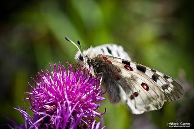 Papillon - Apollon