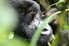 'Noel' - Rugendo family mountain gorilla <br /> Virunga, Congo DRC