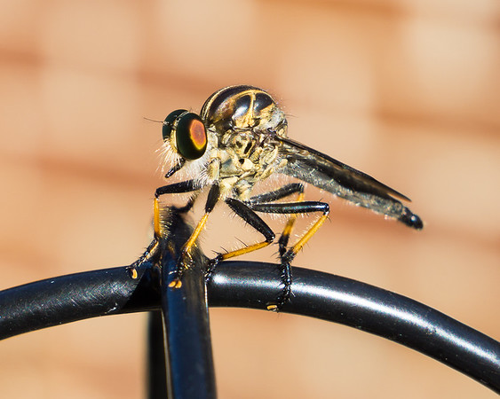 The Assassin Fly