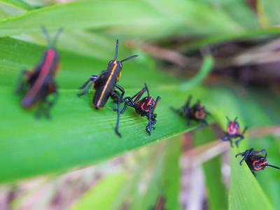 Eastern Lubber Grasshopper Nymphs