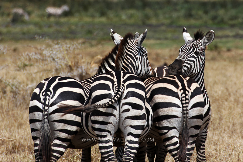 Four Zebras<br /> Ngorongoro Crater, Tanzania<br /> <br /> These four(actually six if you count the ones in the background) zebras stay close to watch for potential threats in Ngorongoro Crater.