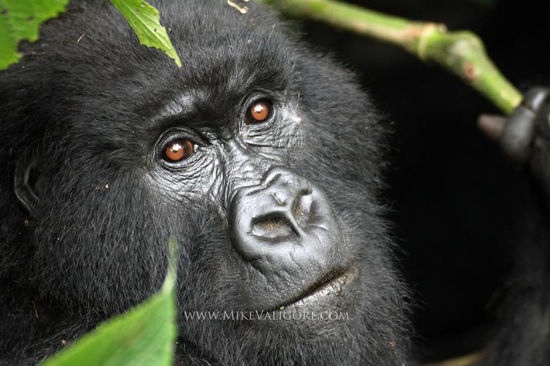 Mountain gorilla with bamboo<br /> Virunga, DRC