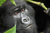 Mountain gorilla with bamboo<br /> Virunga, DRC