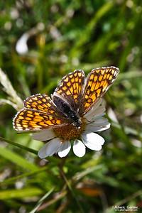 Papillon - Damier Athalie