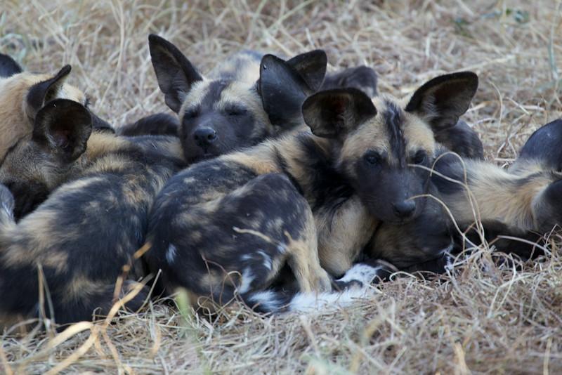 Wild Dog Pups