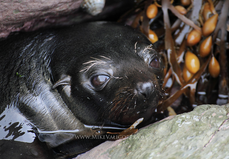 Seal pup<br /> Kaikoura, New Zealand