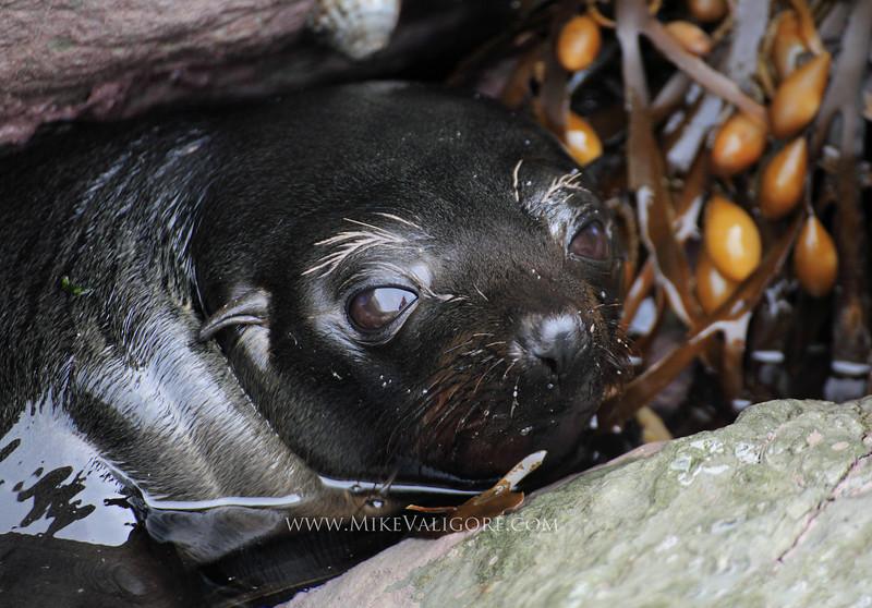 Seal pup<br /> Kaikoura, New Zealand