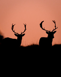 Two Deers in sunset