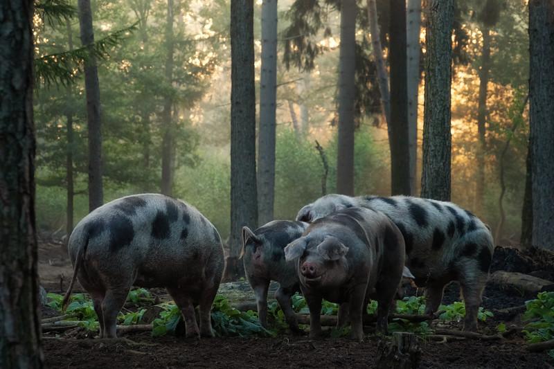 Pig paradise