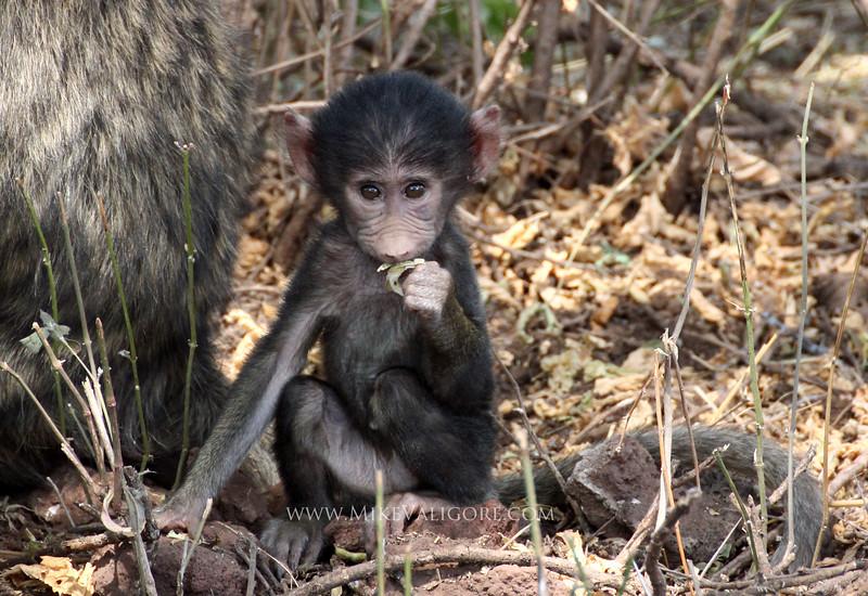 Baby baboon<br /> Lake Manyara, Tanzania